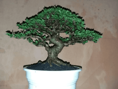 Cara Membuat Bonsai Sancang