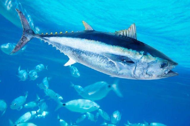 Ikan Tuna Mata Besar