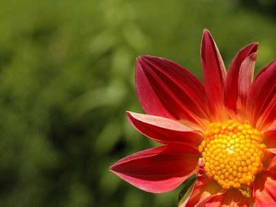 Wallpaper salvapantallas flor amarilla y roja de primavera