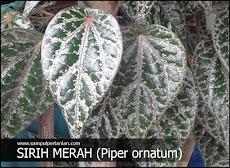 Mengenal Sirih merah (Piper ornatum)