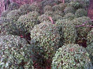 jual tanaman teh-tehan bulat | tanaman pangkas untuk taman minimalis