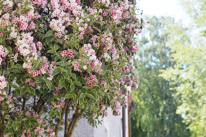 Blühende Bäume an der Römerstraße