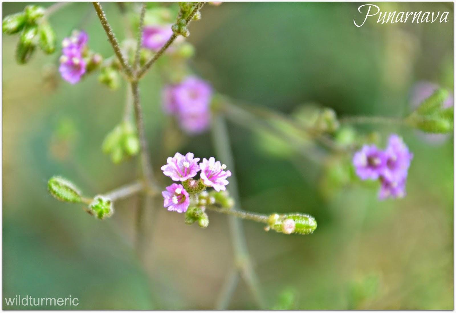 5 Amazing Health Benefits Amp Uses Of Punarnava Herb Plant