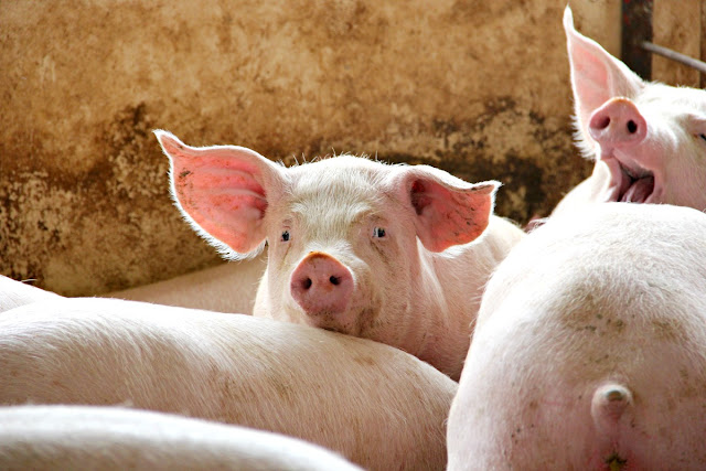 From the farm to your dinner table, here is a peek into what goes into real pig farming in the United States.