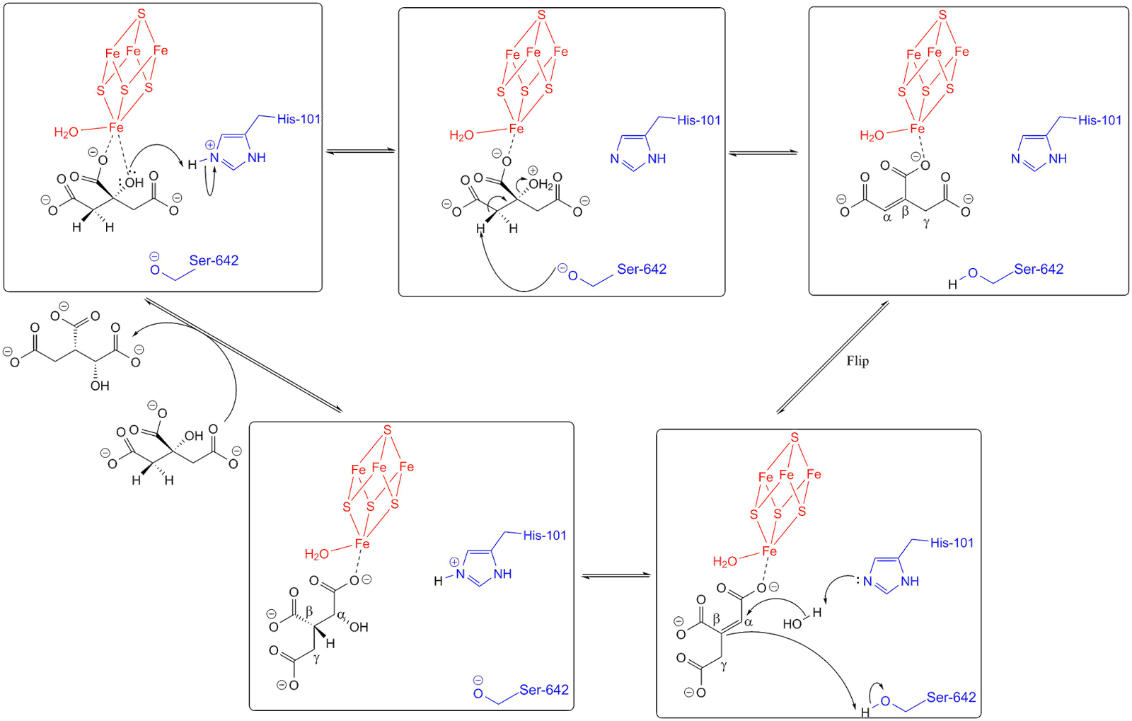 Decoding krebs cycle i citrate 6c to succinyl coa 4c the enzyme mechanisms at aconitase active site for isomerisation of citrate to isocitrate pooptronica Image collections