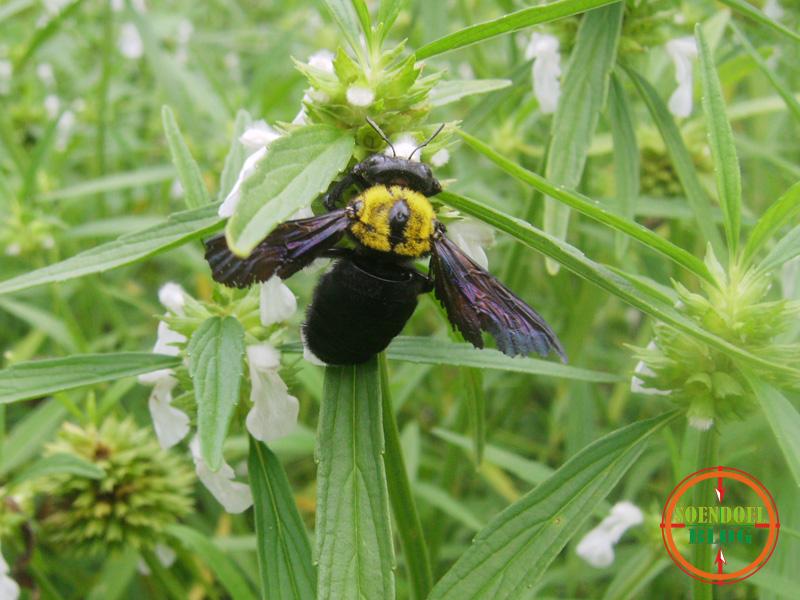 Sundul Langit: Foto Kumbang Menghisap Madu Bunga