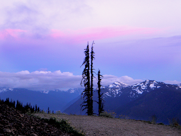 Lone Dead Trees and Wildflowers Overlooking Olympic Mountains
