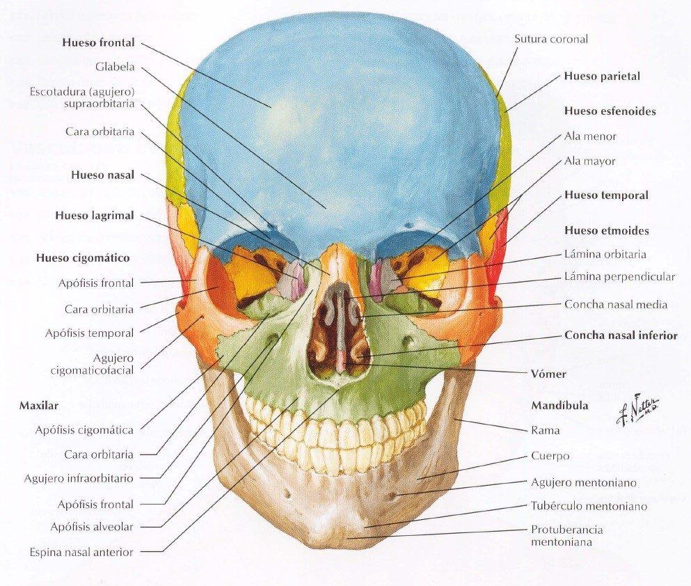 Netter: Atlas de Anatomía Humana, 4ª Edición - Frank H ...
