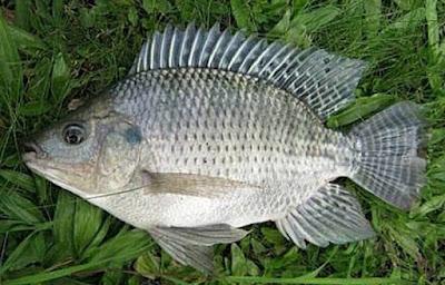 11 Manfaat Ikan Nila untuk Kesehatan