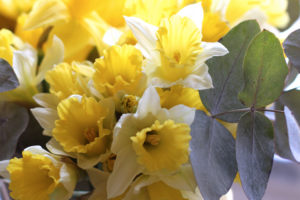 Fresh daffodils in spring - London style blogger