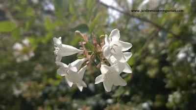 Abelia, arbusto de jardín