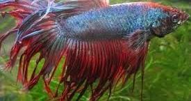 Cara Mencegah Serta Mengobati Ekor Ikan Cupang Kuncup Dan Keriting Ikan Hias Air Tawar Laut Dan Aquarium