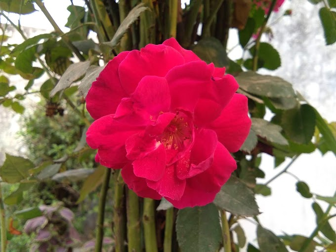 how to plant roses from cuttings grow in 15 days