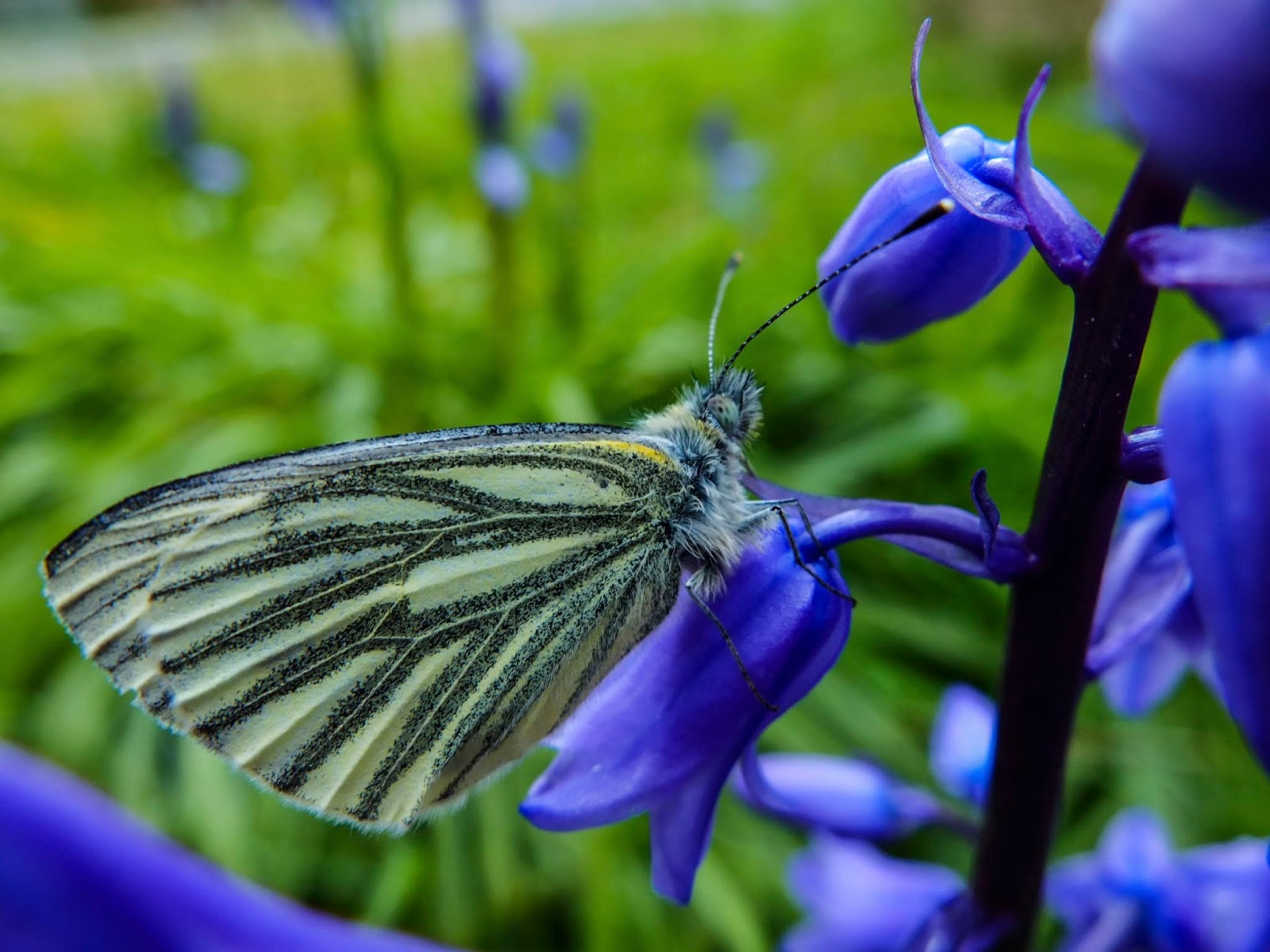 A close up of a light yellow butterfly with black stripes sitting on a bluebell flower.