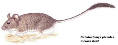 Ratón cola de pincel Octodontomys gliroides