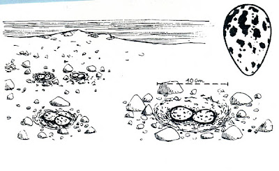 gaviotines en Argentina Gaviotín sudamericano Sterna hirundinacea