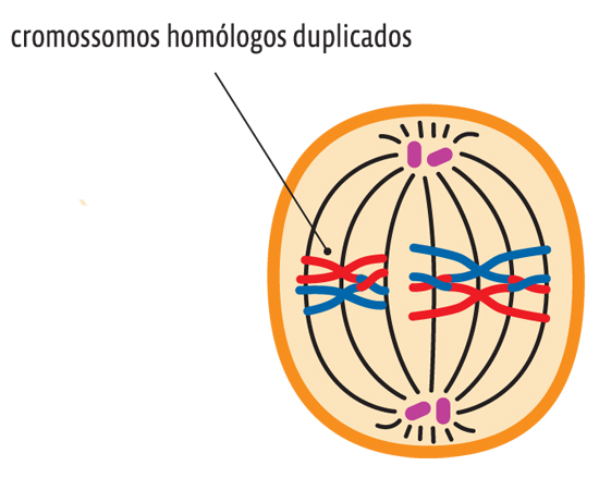 metaphase 1 definition deutsch
