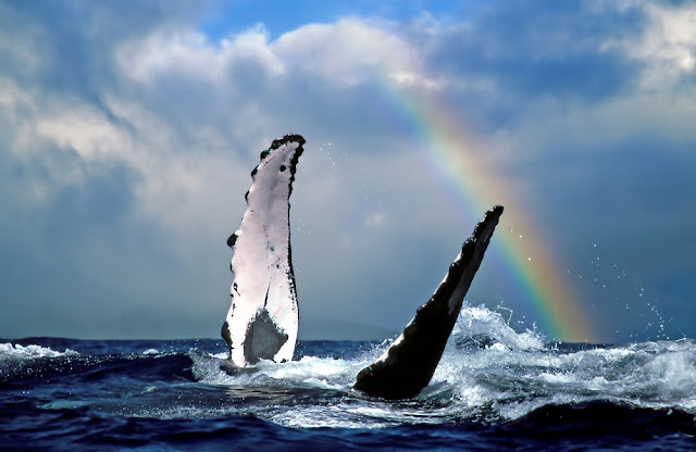 Whales: Sacred Hawaiian Symbols with rainbow