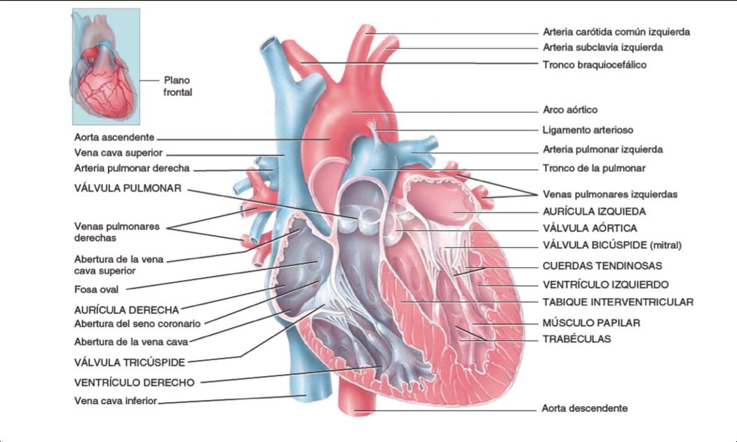 Aprendizaje Médico: ¡Descubre cómo es la estructura interna de tú ...