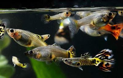 7 Penyakit Pada Ikan Guppy dan Cara Mengatasinya