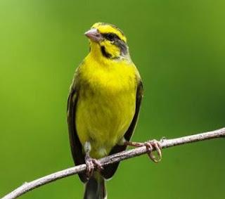 Tips Dan Cara Perawatan Burung Mozambik Biar Gacor Paling Lengkap