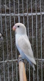 Perbedaan lovebird albino dan pastel putih