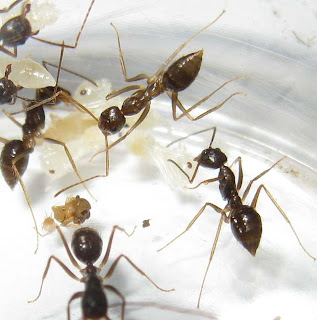 Minor workers of Euprenolepis procera with pupaeMinor workers of Euprenolepis procera with pupae