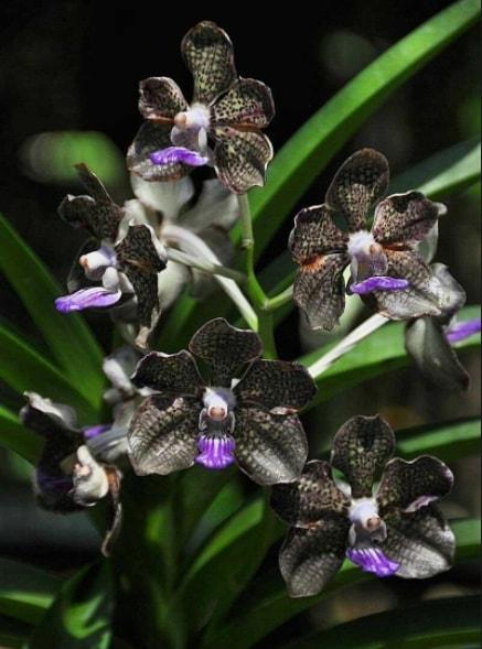 Gambar Bunga anggrek hitam