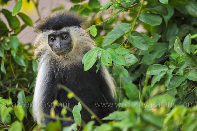 Colobus Conservation, Colobus Monkeys, Diani Beach, Primates Kenya, Shazaad Kasmani, Wild Kenya Safaris, www.wildkenyasafaris.com, primates safari kenya, shimba hills kenya wildlife