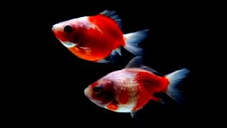 Ini cara melihat Perbedaan ikan mas koki jantan dan betina secara mudah