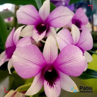 Pátio Alcântara recebe a 8ª Mostra de Orquídeas