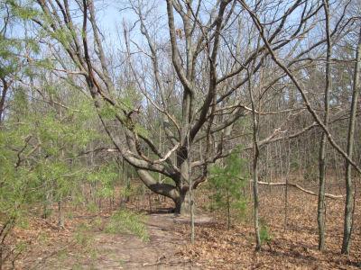 spreading maple limbs