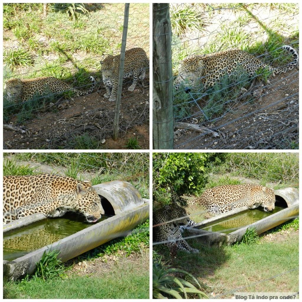 leopardos na reserva