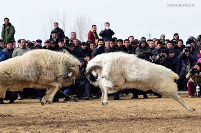 Adu domba dan adu manusia?