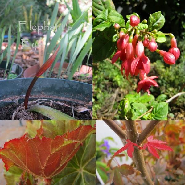 Nerine, Fuchsia tuberous begonia, Japanese maple