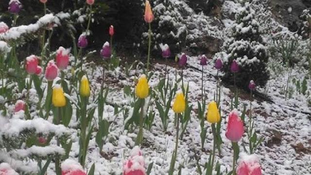 Χιονίζει στα έλατα - ΦΩΤΟ