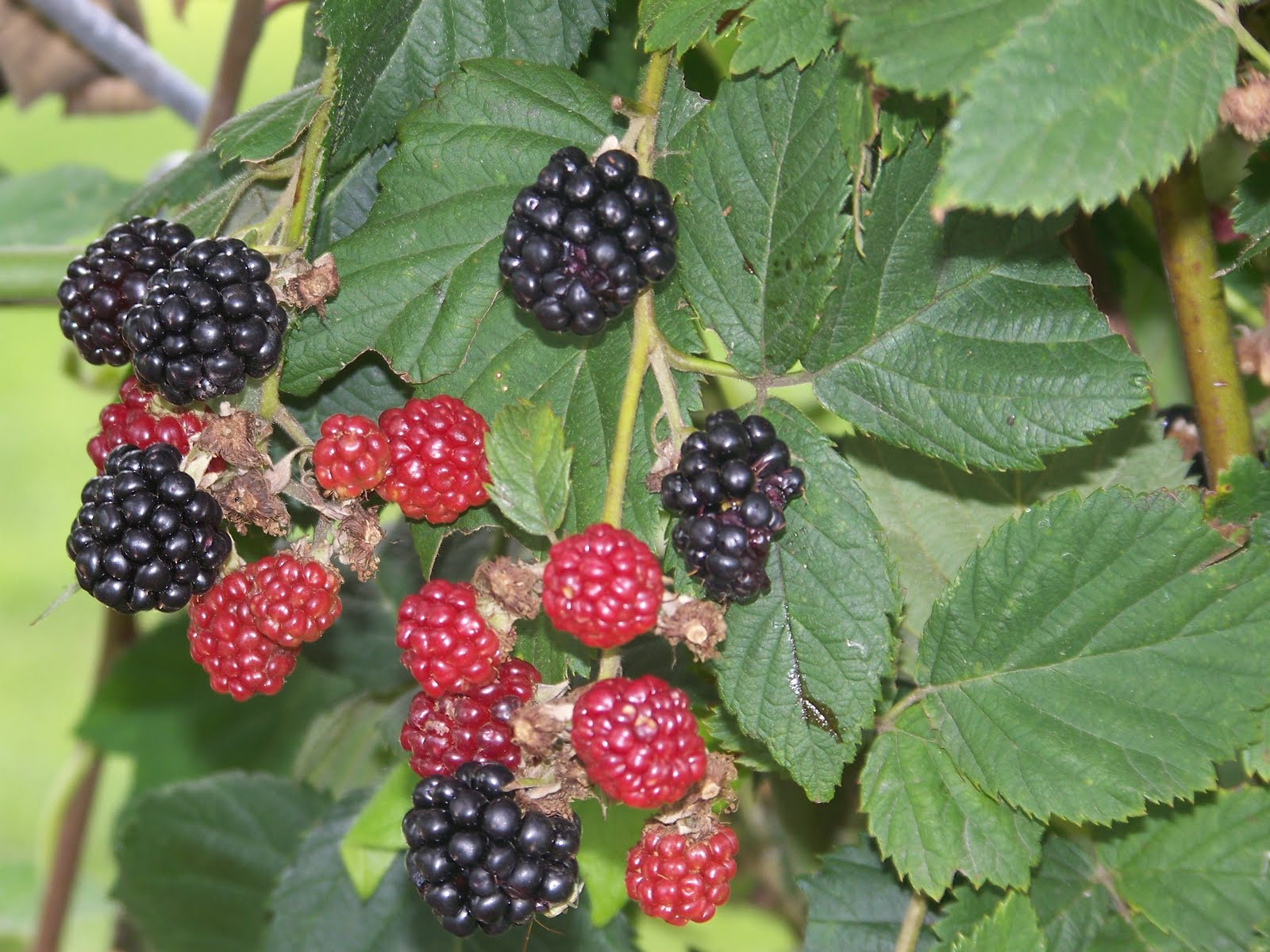 Hickery Holler Farm: Blackberries Rooting
