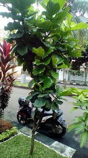 Jual Pohon Biola Cantik,Jual Pohon Pelindung Biola Cantik,Jual Pohon Biola Cantik Murah,Jual Bibit Pohon Ketapang Biola Cantik