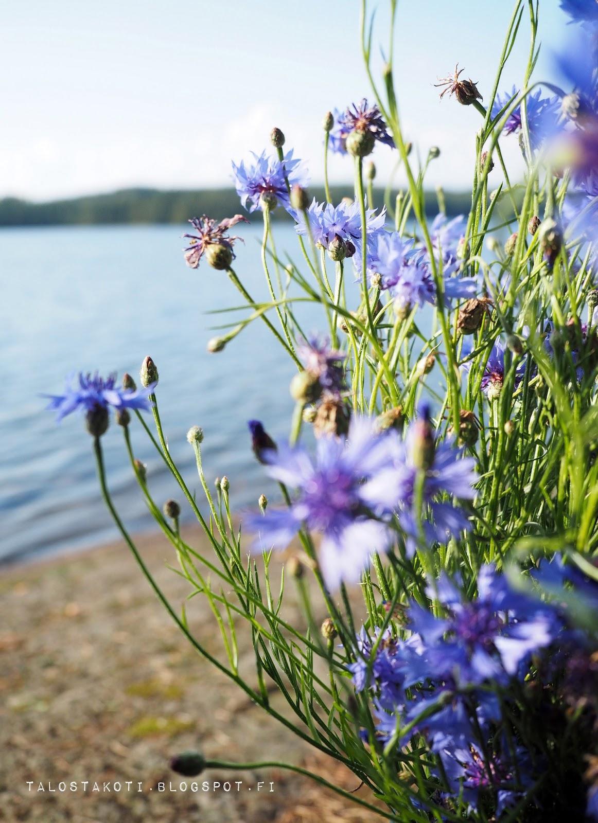Ruiskukka, järvimaisema, kaunista