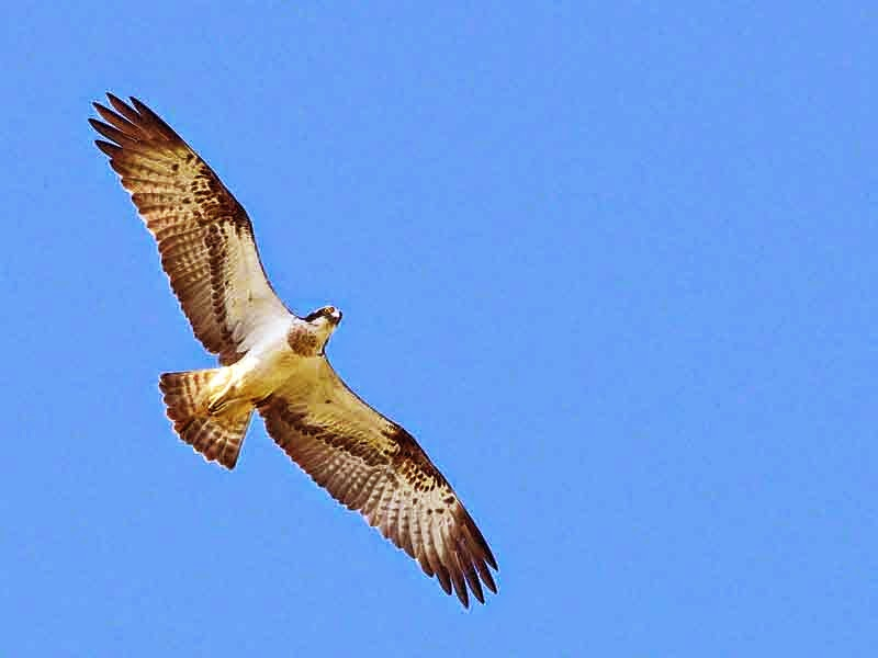 bird, osprey in flight, blue skies