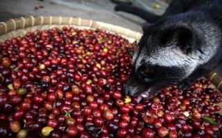 5 makanan kesukaan musang Pandan yang wajib anda berikan