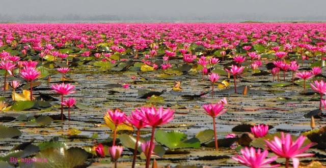 Danau Lotus Pink di Thailand