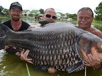 Ikan Mas Terbesar di Dunia Berhasil Ditangkap, Beratnya?