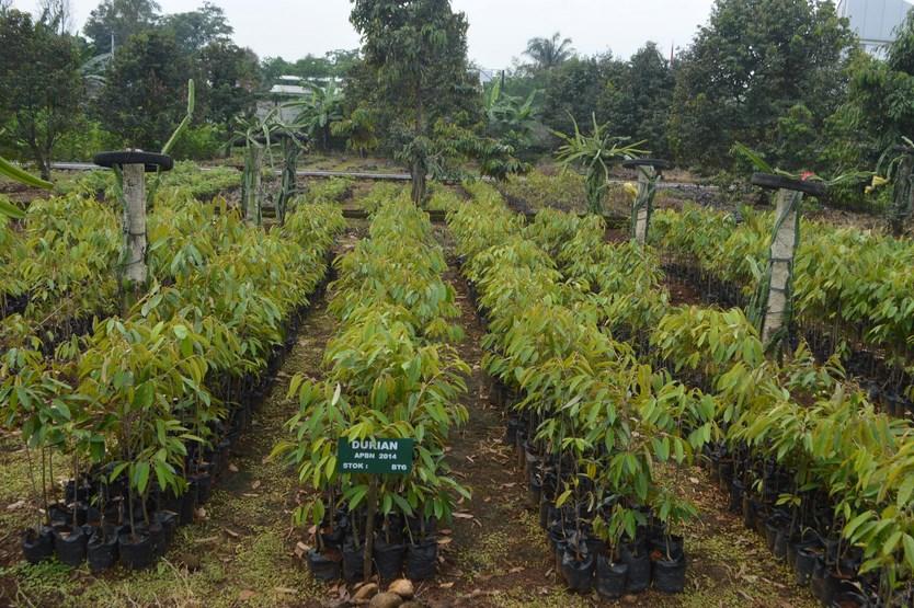 Harga bibit tanaman durian yang baik