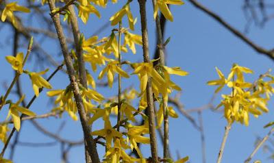 Forsythienblüte