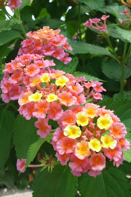 Detail of lantana blooms at James Gardens Etobicoke by garden muses: a Toronto gardening blog