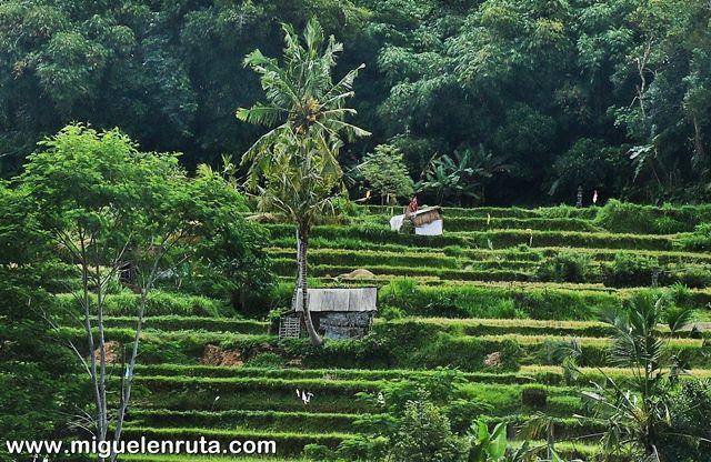 Terrazas-arroz-Bali