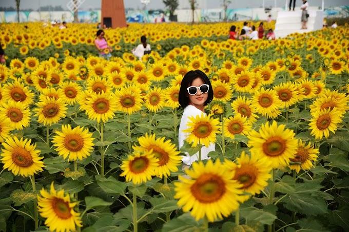 Cùng ngắm cánh đồng hoa hướng dương ở Sài Gòn