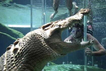 Nikmati Sensasi Berenang Bersama Buaya Di Crocosaurus Cove's Cage Of Death, Australia