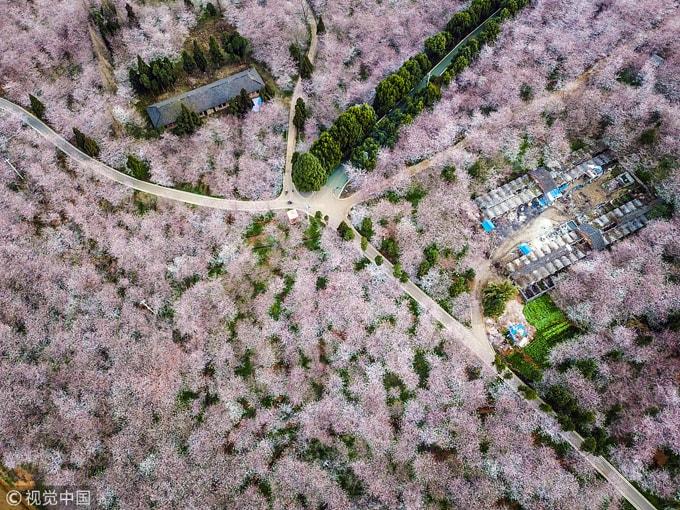 Hòn đảo hoa anh đào 'đẹp rụng rời' ở Trung Quốc - Ảnh 7